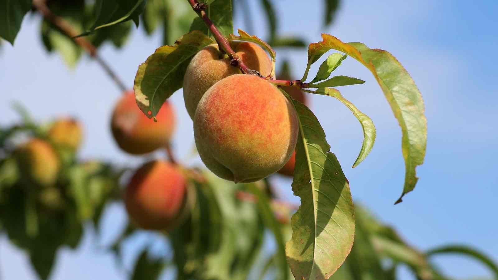 Pfirsich und Nektarine – Wo liegt der Unterschied?