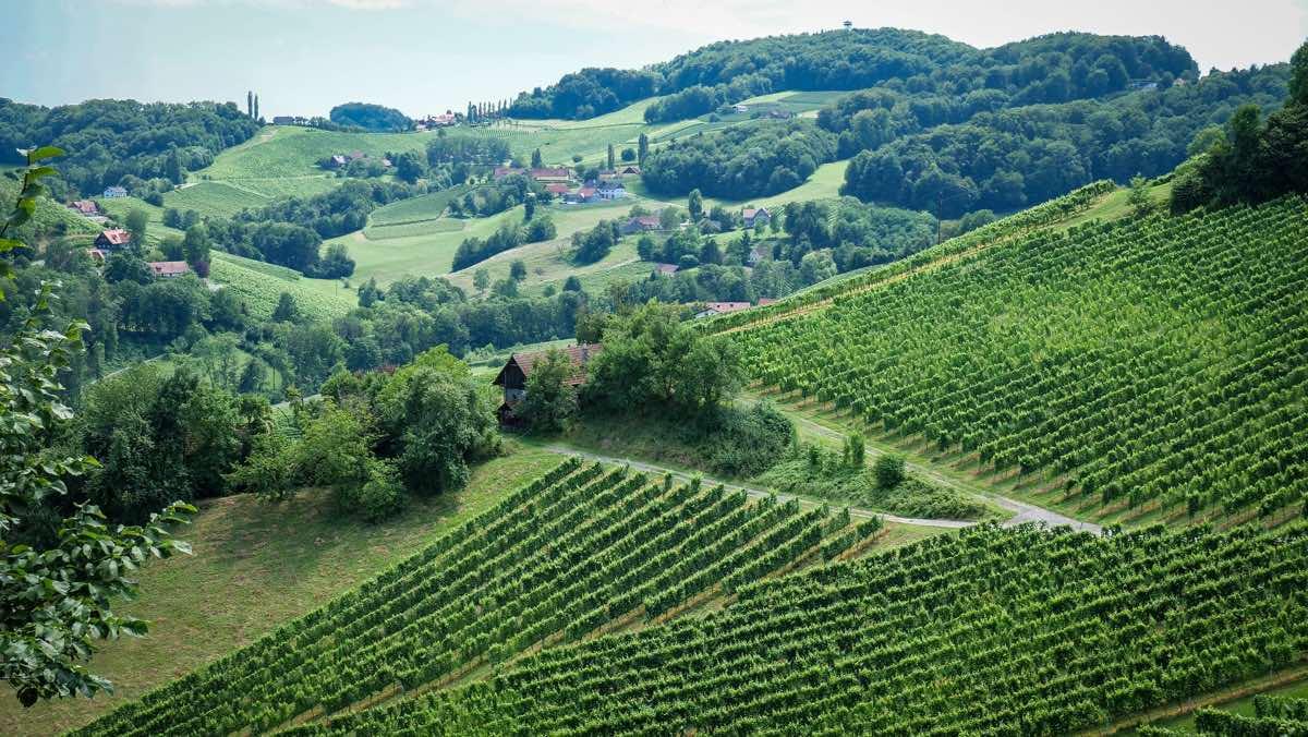 Weinreben Südsteiermark