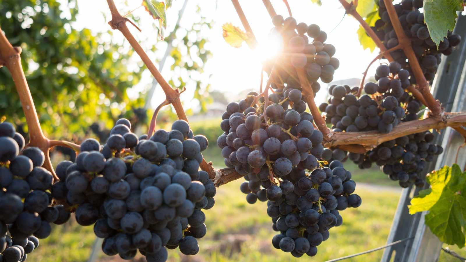 Von der Traube zum Wein